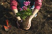 stock photo of geranium  - Woman planting geraniums into the main garden - JPG