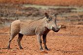 Warthog (Phacochoerus africanus), South Africa