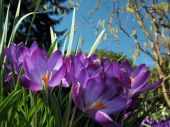 Crocus Blossoms In Flower-bed