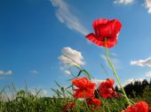 Red Poppy Flowers And Blue Sky