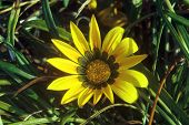 yellow gazania flower