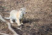 stock photo of white tiger cub  - Tiger cub standing on the forest floor - JPG