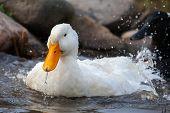 White Duck Splashing