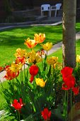 Bright colorful tulips on front of a residential house