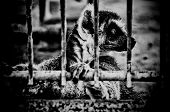 Profile Of Lemur In A Cage