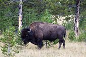 North American Buffalo Grazing Near Edge Of Woods During Late Summer
