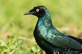 A Portrait Of A Long-tailed Starling (lamprotornis Chalcurus)