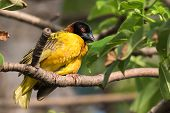 Male Village Weaver (ploceus Cucullatus) With Ruffled Feathers