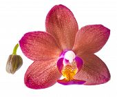 Closeup Of Beautiful Dark Red With Bud Orchid, Phalaenopsis Is Isolated On White Background