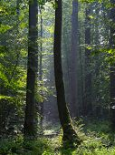 pic of alder-tree  - Summertime morning in the forest with mist and alder trees - JPG