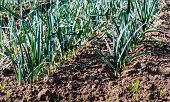 Small Leek Plants From Close