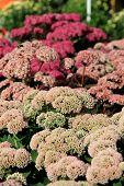Colorful Fall sedum