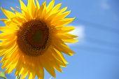 Gorgeous Sunflower on cornflower blue skies