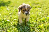 Puppy Standing And Posing On The Grass