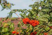 Rowan Berries From Close