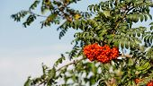 stock photo of rowan berry  - Closeup of orange colored berries of an European Rowan or Sorbus aucuparia tree on a sunny day in the early autumn season.