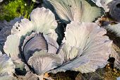 Growing Red Cabbage Plant Form Close