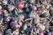 Heap Of Red Onions Drying On The Field