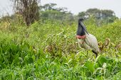Jabiru searching for food over green plants