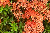 foto of jungle flowers  - Red ixora flowers the close-up of red ixora flowers. Scientific name: Ixora chinensis.