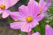 Cosmos Sonata Flowerfield pink flower field Cosmos bipinnatus