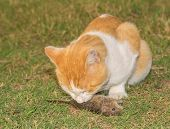 Orange and white cat eating a mouse in grass
