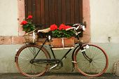 Alsatian Bike In Flowers