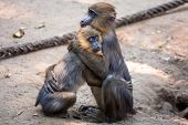 Mandrill monkeys in the zoo