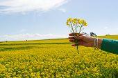 Hand Raised On Spring Field Of Rape Yellow Flowers