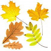 Dry fallen leaves isolated over whte background
