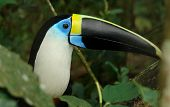the ecuadorian amazonian rain forest toucan