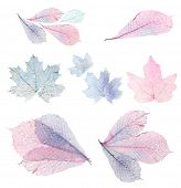 Transparent leaves isolated on white