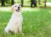 Portrait of a golden retriever sitting down in the grass
