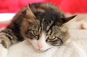 stock photo of tabby-cat  - Lying tabby cat watching the photographer  - JPG