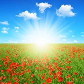 spring landscape with red poppy field and sunny sky