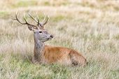 Stag or Hart, the male red deer
