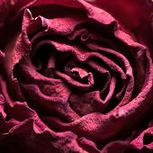stock photo of keepsake  - Macro shot of dried rose with petals - JPG
