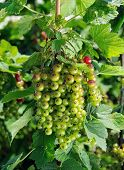 Rich Branch Of Red Currant Is Getting Ripe