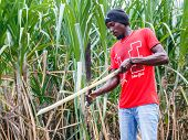 Haitian Man On Sugar Cane Plantation