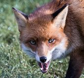 stock photo of growl  - Red Fox growling closeup grass in the background - JPG