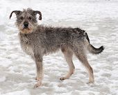 Dirty Gray Dog Standing On Snow