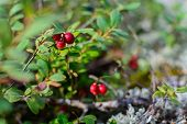 Lingonberries Closeup