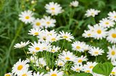 picture of dainty  - close up the dainty white flowers of fringed single cosmos genus asteraceae flowering in a spring garden - JPG