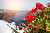 Red Geranium Flowers. Santorini Island, Greece
