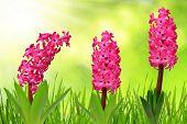 Hyacinth with dewy grass