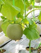 picture of cantaloupe  - Melon or Cantaloupe fruit on its tree - JPG