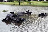 Buffaloes are in the river to escape the heat