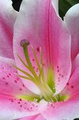 Macro Of Pink Lily