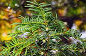 European yew (Taxus baccata) with green immature cones