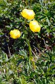 Alpine Flowers: Globeflower (trollius Europaeus)